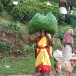 Carrying the harvested tea to the scales